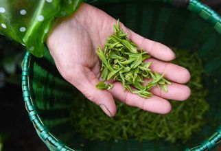 Tea gardens begin first harvest of spring tea under prevention measures in Zhejiang