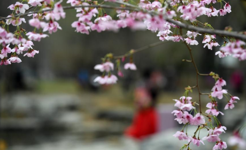 Cherry blossoms at Yuyuantan Park in Beijing