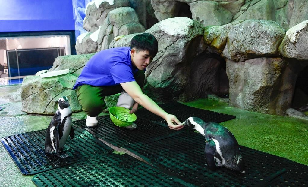 Pic story of penguin keeper at ocean world in Hainan