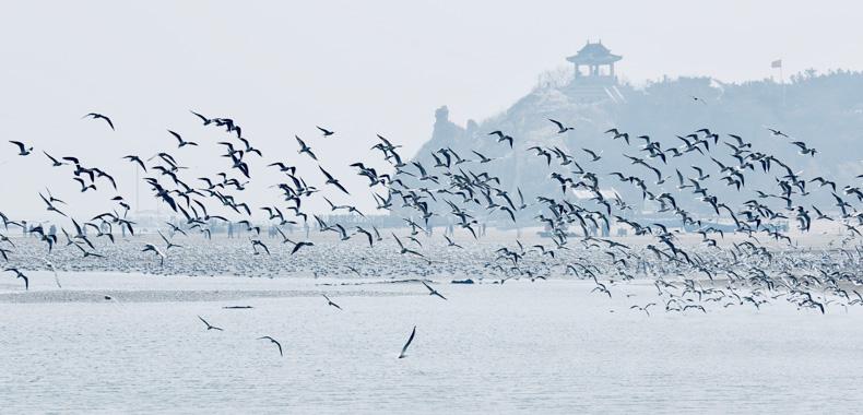 秦皇岛鸥鸟翔集鸣声远 万鸥振翅蔚为壮观