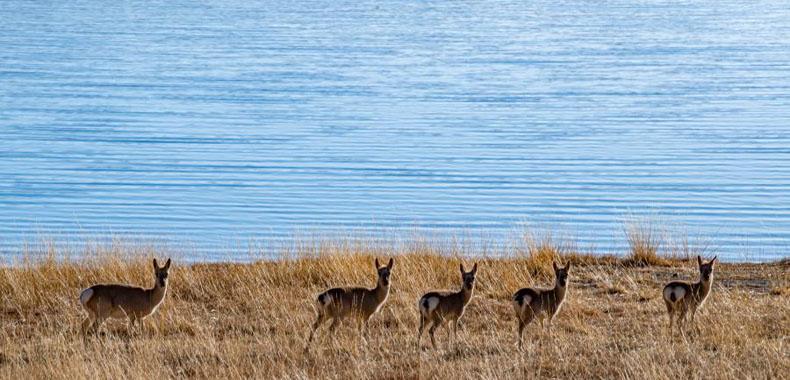 西藏:冬日羊湖 动物乐园
