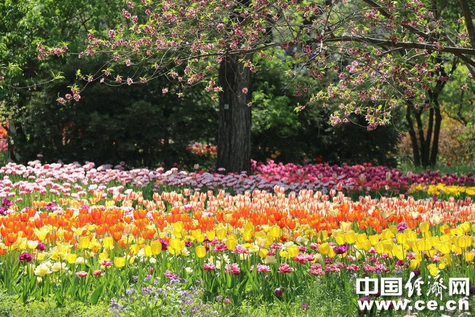 """北京植物园100余个品种20余万株郁金香""""华丽登场"""""""