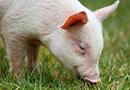 生猪价格持续上涨助推