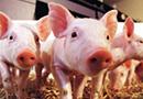 生猪产能持续恢复