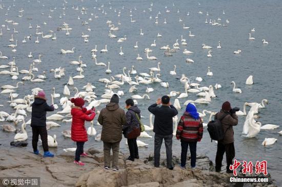 1月8日,入冬以来,成群结队的大天鹅飞抵山东威海荣成大天鹅国家级自然保护区越冬。近年来,随着当地生态环境的不断改善,每年都有近万只大天鹅来此越冬栖息,吸引了大批游客前来观赏。 唐克 摄 图片来源:视觉中国