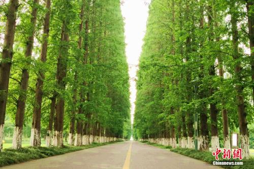 金岛生态园成排的水杉树。袁秀月 摄