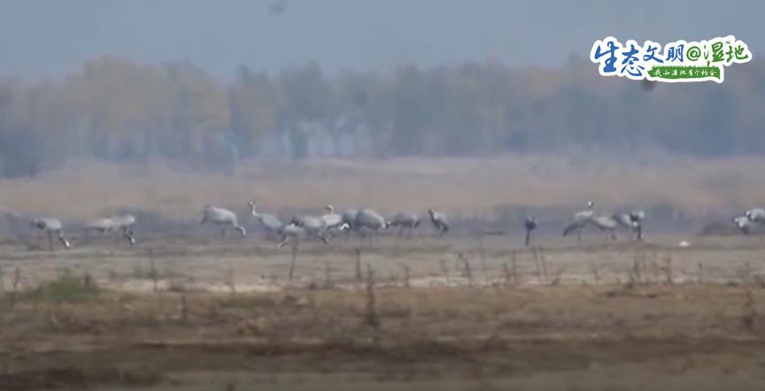 【生态文明@湿地】成群灰鹤盘旋起舞、休憩觅食 为黄河湿地公园增
