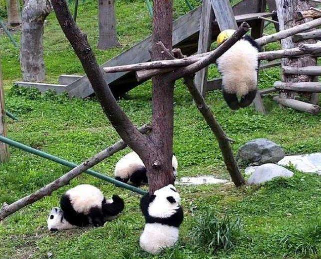 「央视新闻客户端」大熊猫中心回应幼仔球绳绕颈死亡:从未见过很意外
