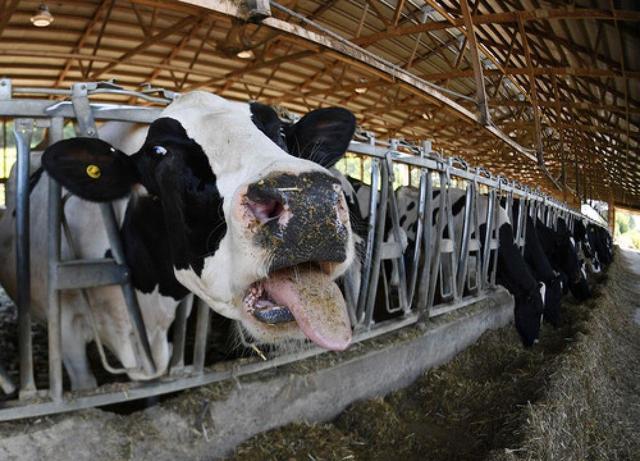 新华社:倒牛奶,书本里这一幕在美国重演
