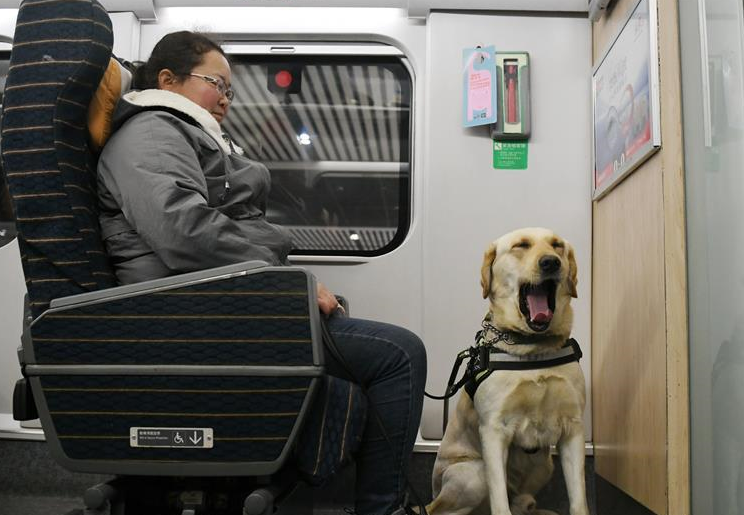 导盲犬乘高铁体验春运
