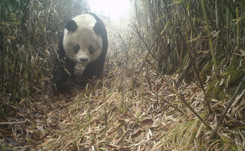 野生大熊猫现身四川绵竹