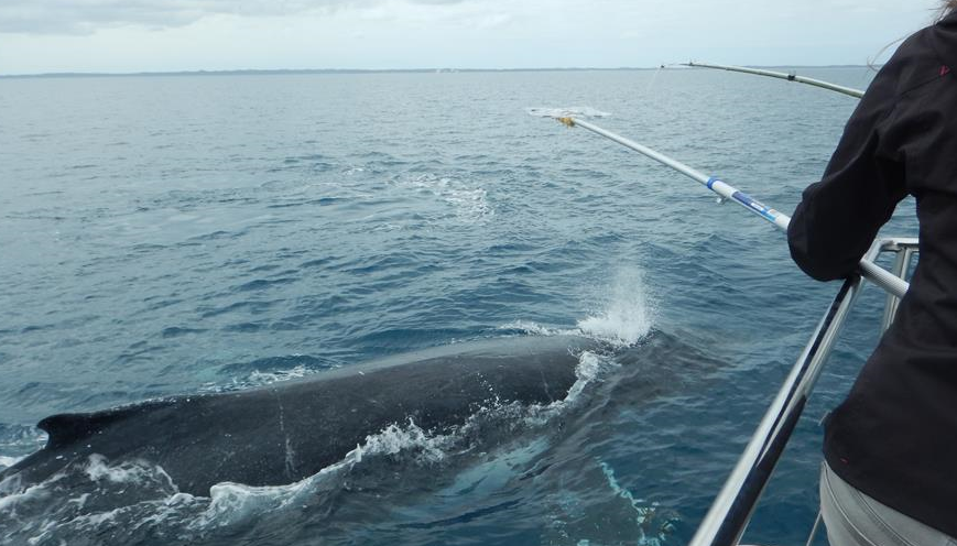 澳大利亚研究:鲸鱼喷出水柱成分或可显示健康状况