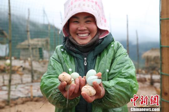 厦格村养鸡贫困户开心的捧着刚从鸡舍里掏出的鸡蛋 贺俊怡 摄
